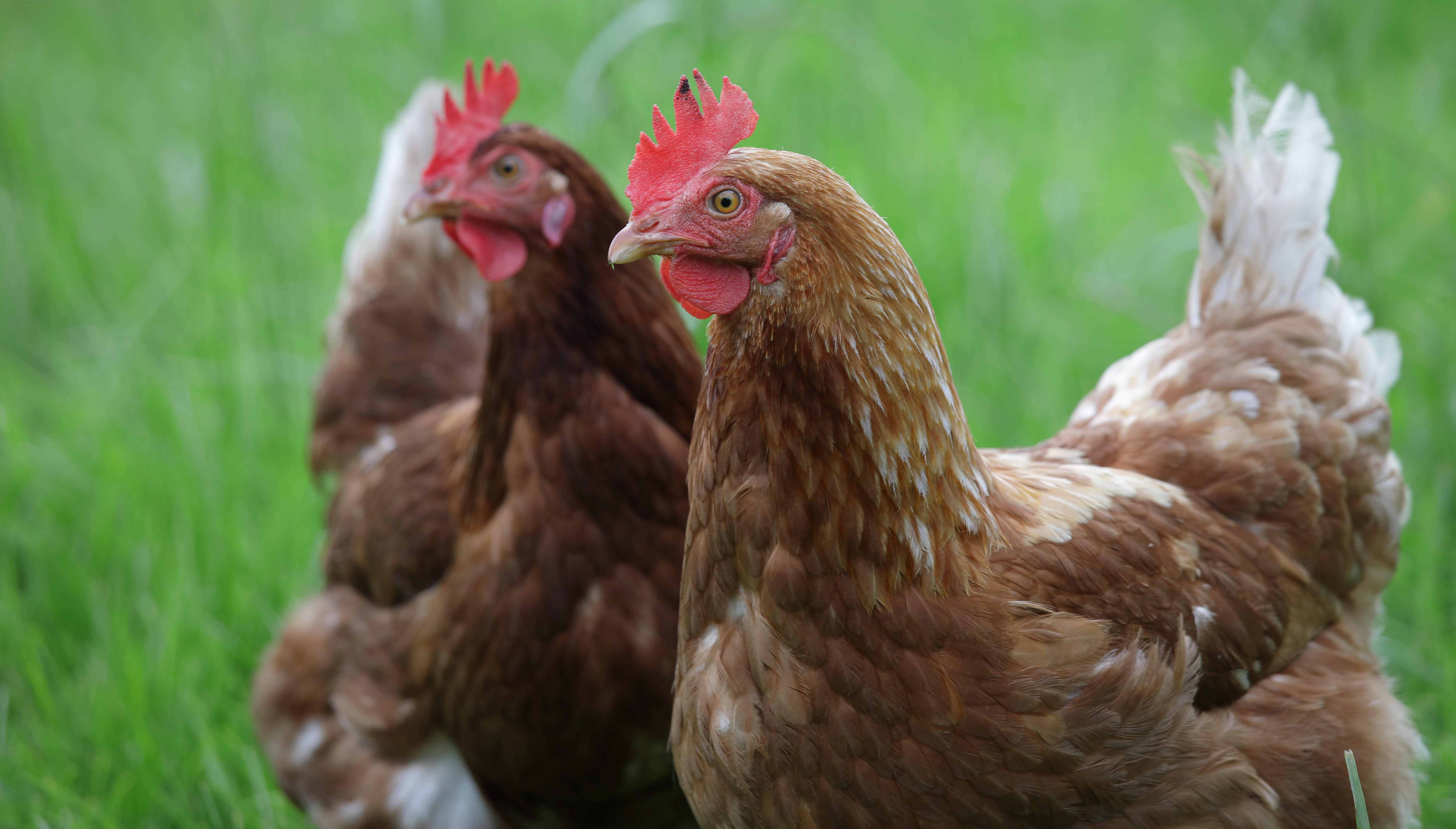 Poultry housing measures to be lifted